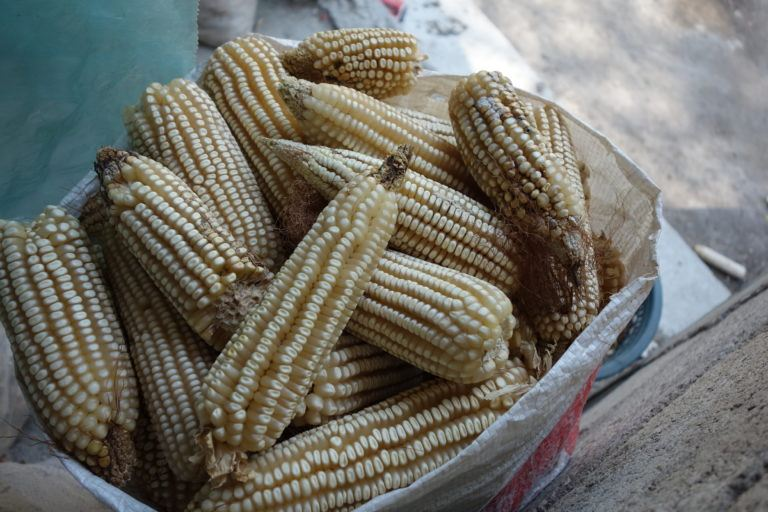 Photograph of dried corn cobs in a bowl.