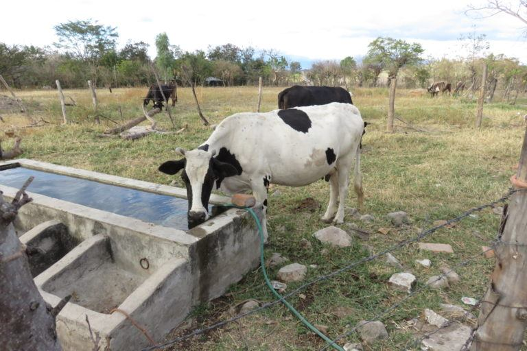 Photograph of a cow drinking water, with brown dry grass in the background.